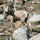 Blond Desert Big Horn Sheep, Standsbury Mountain Utah by Robbie Knight