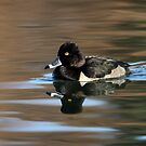 Ring Necked Duck On Silky Waters by Gary Fairhead