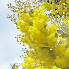 Wattle Flowers by STHogan
