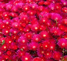 Red Pigface, Lampranthus by David Jamrozik