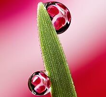 Pink dew drop refraction by John Cogan