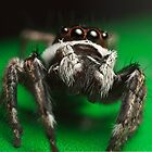 Jumping spider close up by John Cogan
