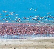 Flocks of flamingos by javarman