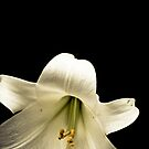 Easter Lily 2 by TyTheTerrible