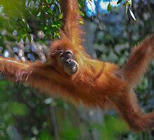 Sumatran orangutan by javarman