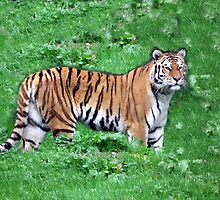 Tiger by Abigail Langridge