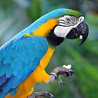 Blue & Yellow Macaw, Singapore. by Ralph de Zilva