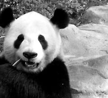 Panda bear chewing on a peice of bamboo, as if it were a toothpick (Black and White) by bethischeery