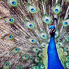 peacock in full bloom by djnarelle