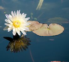 Water Lily by Karen  Burgess