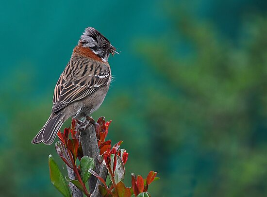 Rufous-Collared Sparrow by Peter Hammer