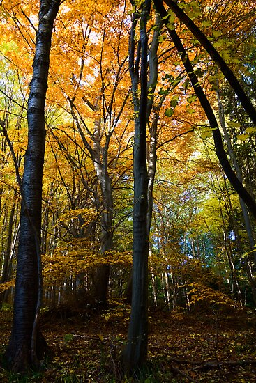Autumn beech forest  by Vasil Popov