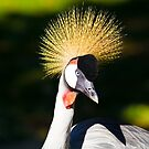Crowned crane by acalax