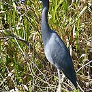 Blue Heron - Everglades National Park by Susan Glaser