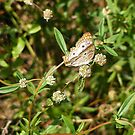 White Peacock Butterfly - Everglades National Park by Susan Glaser