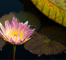 Water Lily and Dragonfly by Karen  Burgess
