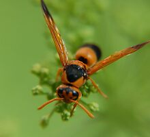 Wasp drying out after the rain by geoffgrattan