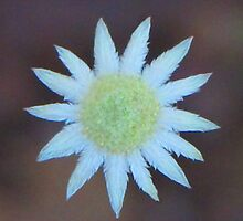 Little Flannel Flower by Michael John