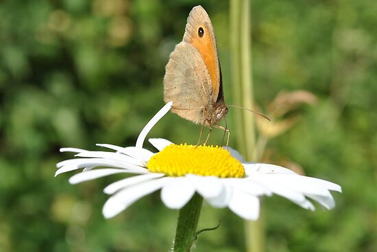 Butterfly on a Daisy by SkinnyJoe
