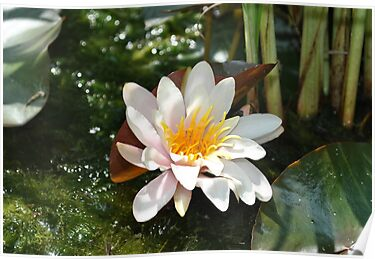 Flowering Waterlily  by SkinnyJoe