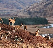 Red Deer, Glen Etive by Tony Steel
