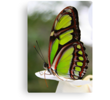 Siproeta stelenes - Malachite Butterfly Canvas Print