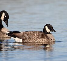 Whats The Difference? / Cackling Goose by Gary Fairhead