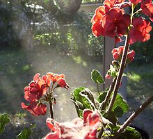 Red Flowers in Sunlight by Ginny Schmidt
