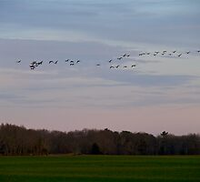 Geese Fly Over the Turf Farm at Dusk - West Kingston - Rhode Island by Jack McCabe