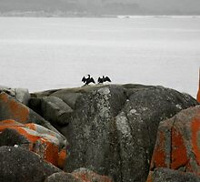 Great Cormorants Drying their Wings,Binalong Bay,Tasmania,Australia. by kaysharp