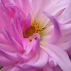 Pink Dahlia by k1m6erley