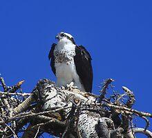 Osprey by Alyce Taylor