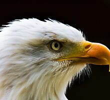 Bald Eagle  by Elaine123