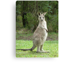 Look at me, young kangaroo at Bombah Point Canvas Print