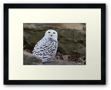 Mellow Yellows - Snowy Owl by Jim Cumming
