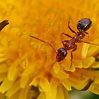 Ant on a dandelion by Jeremy D'Entremont