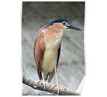 Nankeen Night Heron - Singapore Poster