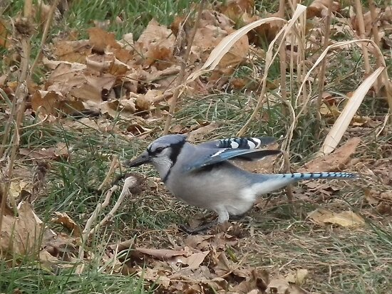 Blue Jay Settling In by Deb Fedeler