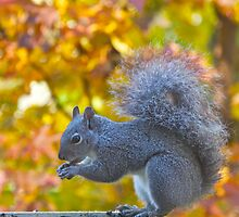 Gray Squirrel and Fall Color by John Butler