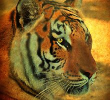 Eye Of The Tiger by Kathy Baccari