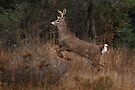Early Morning Buck - White-tailed Deer by Jim Cumming