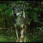 Italian Wolf by Olivier Moreno