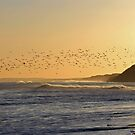 Flock of Oystercatchers by beavo