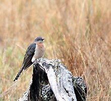 Fan-tailed Cuckoo by EnviroKey