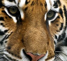 Tiger by Vasil Popov