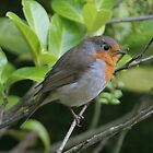 Robin red breast by Sara-Jane  Keeley