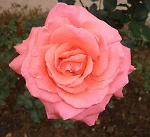 A rose of love by Joseph Green