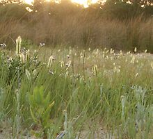 Grass Heads with Sunset Highlights by judith26