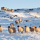 Swaledale Sheep in the snow by Annabelle Studholme