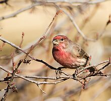 House Finch by Susan Humphrey